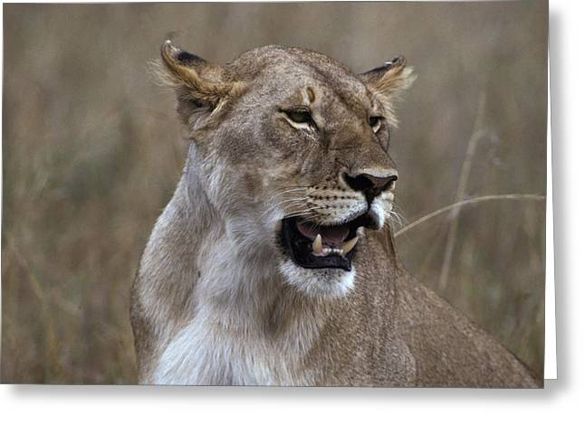 Lioness Greeting Cards - An African Lioness In Her Prime Pants Greeting Card by Jason Edwards
