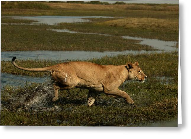 Wildcats Greeting Cards - An African Lioness, Panthera Leo Greeting Card by Beverly Joubert