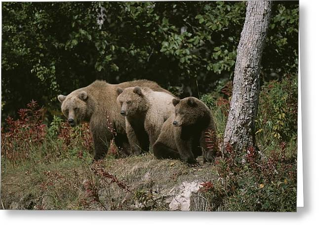 Juvenile Mammals Greeting Cards - An Alaskan Brown Bear And Her Cubs Greeting Card by Roy Toft