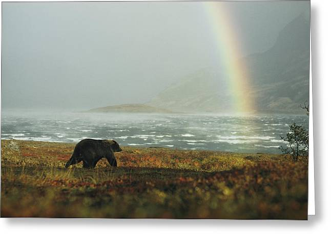 Unknown Greeting Cards - An Alaskan Brown Bear And Rainbow Greeting Card by George F. Mobley