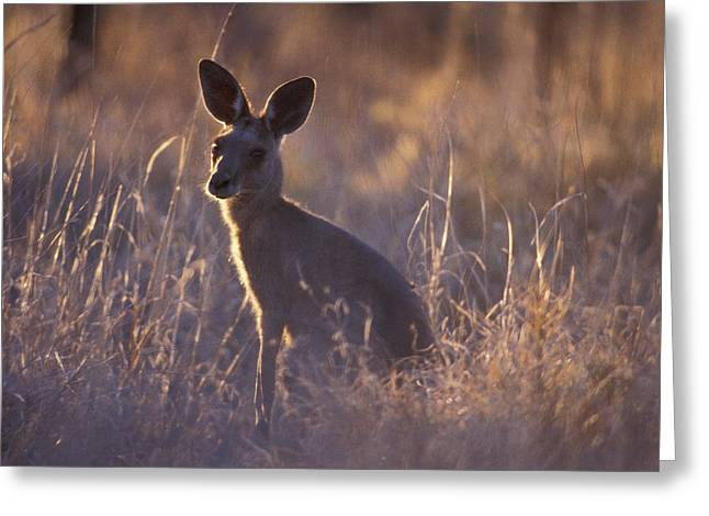 Kangaroo Greeting Cards - An Alert Eastern Grey Kangaroo Feeding Greeting Card by Jason Edwards