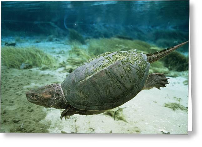 Algae Greeting Cards - An Algae Dappled Snapping Turtle Greeting Card by Bill Curtsinger