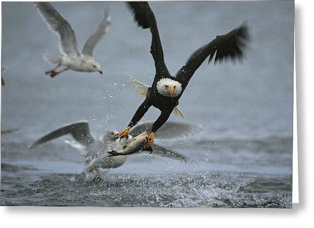 Animals In Action Greeting Cards - An American Bald Eagle Grabs A Fish Greeting Card by Klaus Nigge
