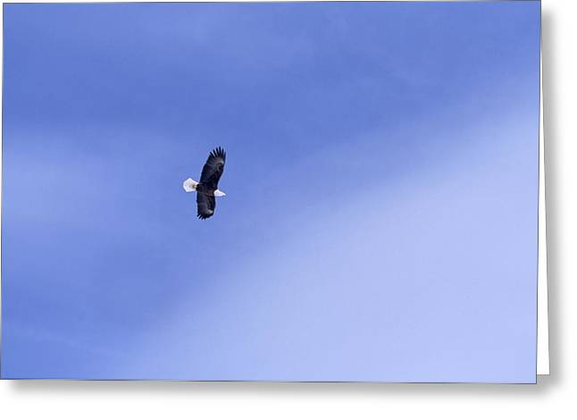 An American Bald Eagle In Flight Greeting Card by Heather Perry