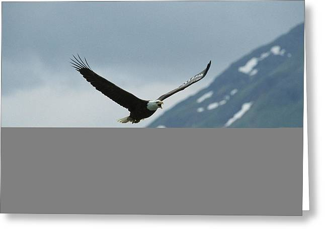 Animals In Action Greeting Cards - An American Bald Eagle In Flight Greeting Card by Tom Murphy