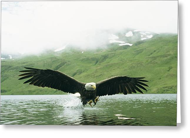 Animals In Action Greeting Cards - An American Bald Eagle Lunges Greeting Card by Klaus Nigge