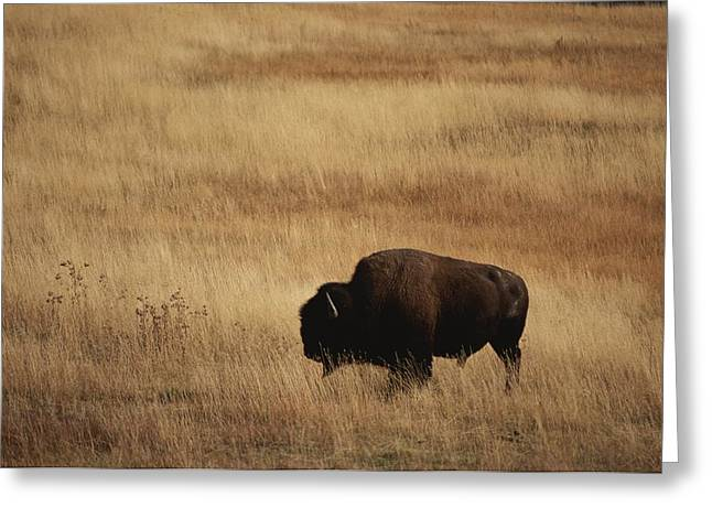 American Bison Greeting Cards - An American Bision In Golden Grassland Greeting Card by Michael Melford