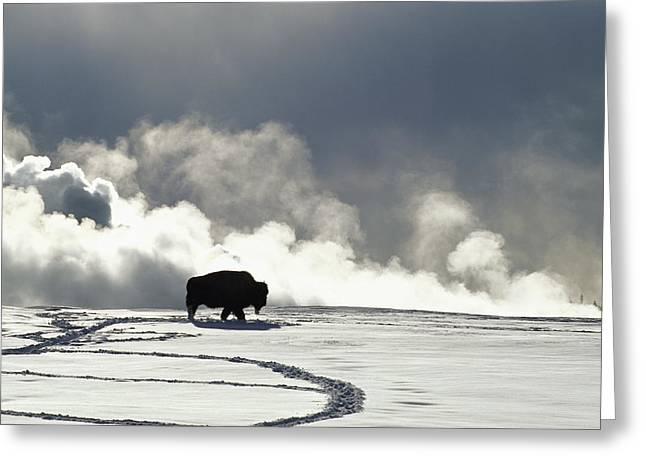 An American Bison Bison Bison Covered Greeting Card by Norbert Rosing