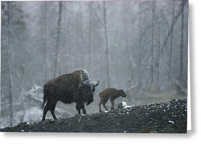Animal Life Cycles Greeting Cards - An American Bison Cow With Her Newborn Greeting Card by Michael S. Quinton