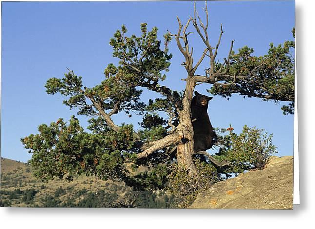 Black Bear Climbing Tree Greeting Cards - An American Black Bear Climbs A Tree Greeting Card by Norbert Rosing