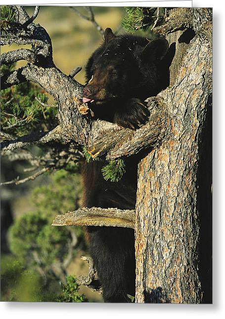 Black Bear Climbing Tree Greeting Cards - An American Black Bear Licks Ants Greeting Card by Norbert Rosing