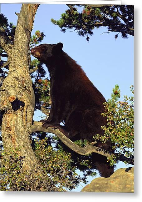Black Bear Climbing Tree Greeting Cards - An American Black Bear Stands In A Tree Greeting Card by Norbert Rosing