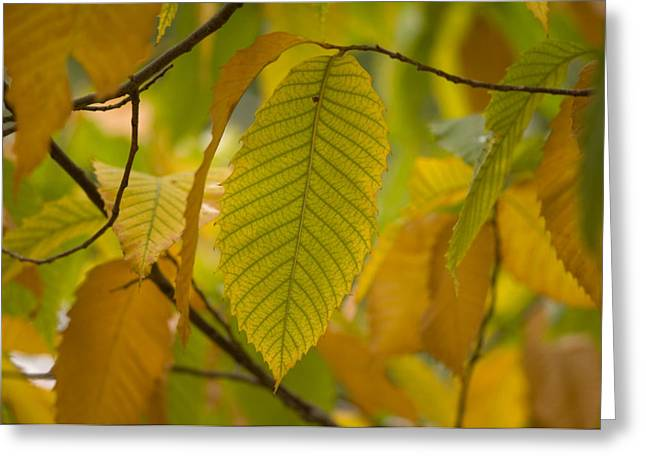 Maxwell Greeting Cards - An American Chestnut Tree Castanea Greeting Card by Joel Sartore