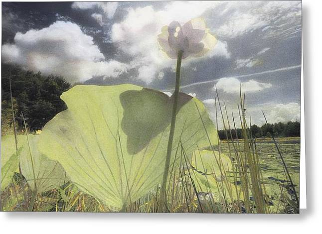 Aquatic Plants Greeting Cards - An American Lotus Water Lily Flower Greeting Card by Annie Griffiths