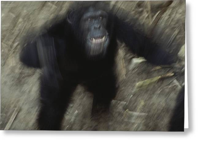 Hostility Greeting Cards - An Angry Adult Male Chimpanzee Pan Greeting Card by Michael Nichols