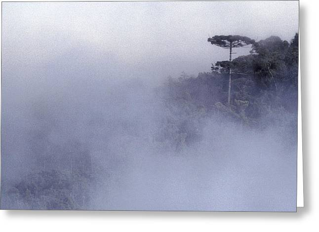 Coastal Forest Greeting Cards - An Aracaria Tree Emerges From The Mist Greeting Card by Jason Edwards