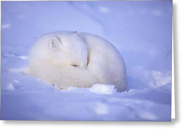 Roost Photographs Greeting Cards - An Arctic Fox Alopex Lagopus Blends Greeting Card by Paul Nicklen