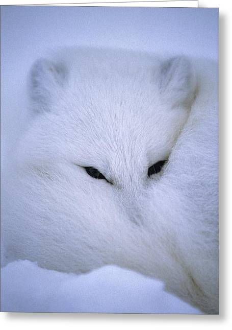 Ways Of Life Greeting Cards - An Arctic Fox Curls Up In A Blanket Greeting Card by Paul Nicklen