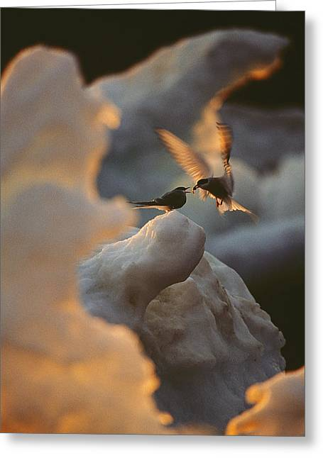 Arctic Terns Greeting Cards - An Arctic tern delivers Greeting Card by Norbert Rosing