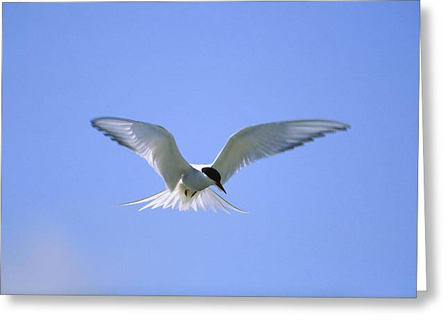 Arctic Terns Greeting Cards - An Arctic tern hovers in Greeting Card by Norbert Rosing