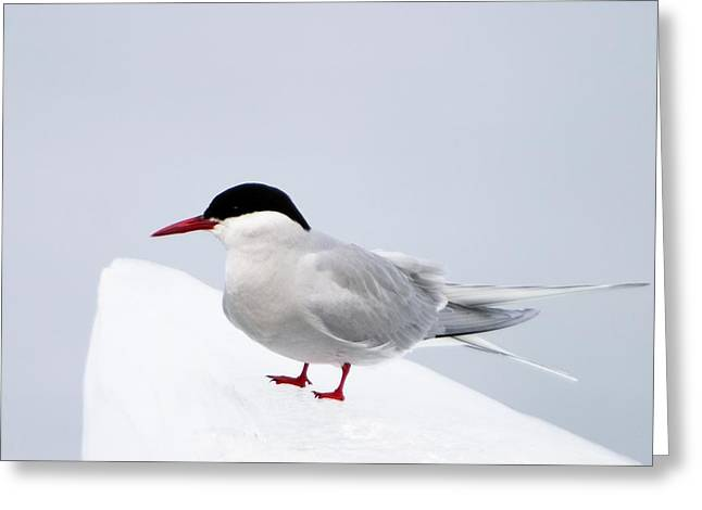 An Arctic Tern Perches On The Ice Greeting Card by Ralph Lee Hopkins
