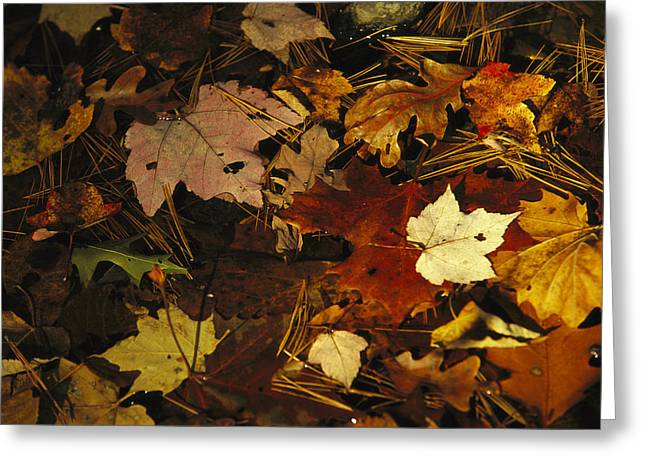 Pine Needles Greeting Cards - An Array Of Autumn Maple Leaves Greeting Card by Raymond Gehman