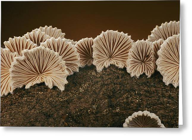 Concord Massachusetts Photographs Greeting Cards - An Array Of Common Split Gill Mushrooms Greeting Card by Darlyne A. Murawski