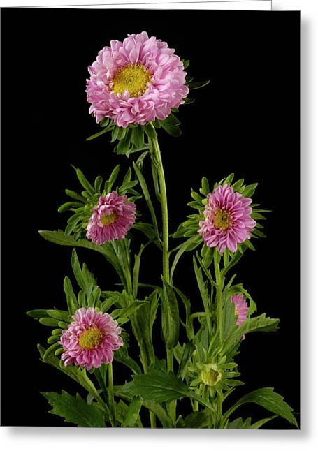 Aster Greeting Cards - An Aster Flower Aster Ericoides Greeting Card by Joel Sartore