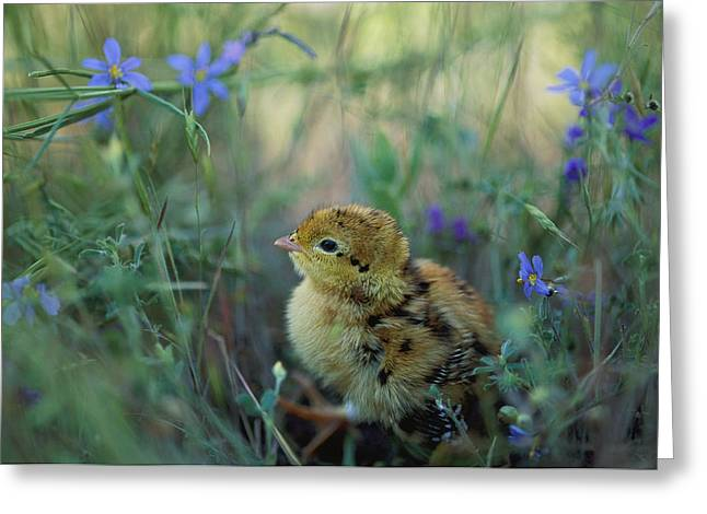 Wildflower Photograph Greeting Cards - An Attwaters Prairie Chick Surrounded Greeting Card by Joel Sartore
