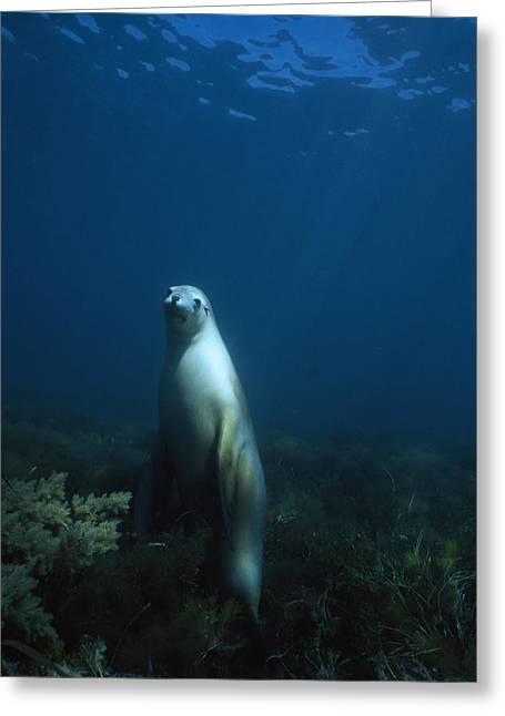 An Australian Sea Lion On Alert Greeting Card by David Doubilet