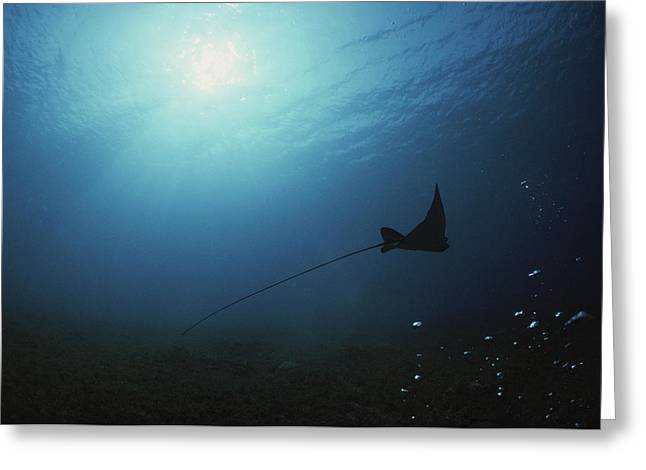 Ray Fish Greeting Cards - An Eagle Ray Glides Through Shallow Greeting Card by David Doubilet
