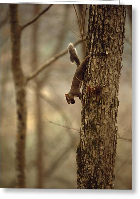 Sciurus Carolinensis Greeting Cards - An Eastern Gray Squirrel On A Tree Greeting Card by Raymond Gehman