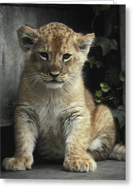 An Eight Week Old African Lion Cub Greeting Card by Jason Edwards