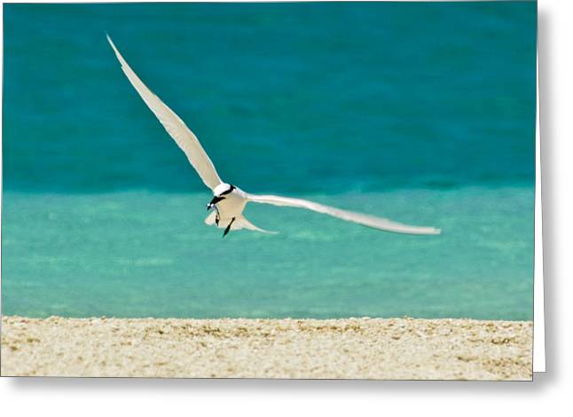 Flying Animal Greeting Cards - An Elegant Black-naped Tern Glides Greeting Card by Jason Edwards