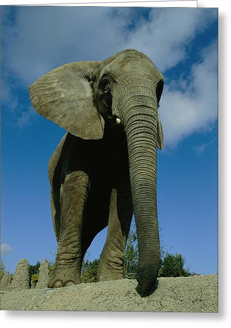 An Elephant At The Pittsburgh Zoo. This Greeting Card by Michael Nichols