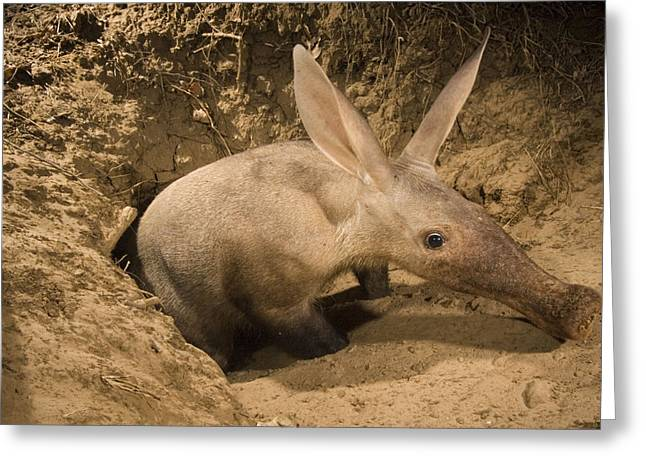 Remote Cameras Greeting Cards - An Elusive Aardvark Emerges Greeting Card by Frans Lanting