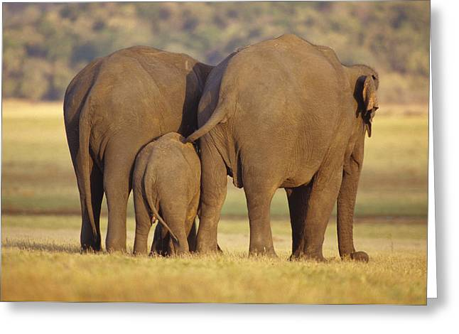 Floodplain Greeting Cards - An Endangered Asian Elephant Calf Greeting Card by Jason Edwards