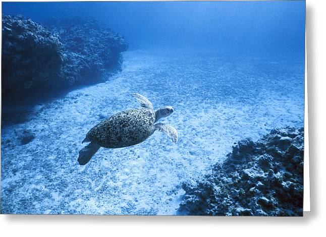 Green Cay Greeting Cards - An Endangered Green Sea Turtle Glides Greeting Card by Jason Edwards