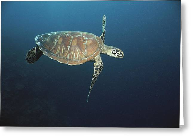 Sipadan Greeting Cards - An Endangered Green Sea Turtle Swimming Greeting Card by Tim Laman