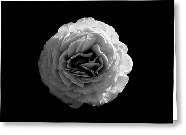 Monotone Paintings Greeting Cards - An English Rose Greeting Card by Sumit Mehndiratta