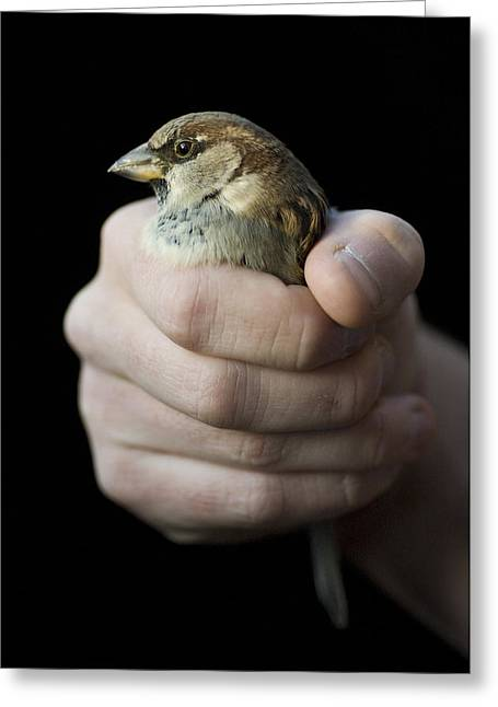 Sparrow Greeting Cards - An English Sparrow House Sparrow Greeting Card by Joel Sartore