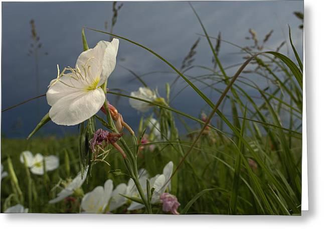 Tallgrass Prairie National Preserve Greeting Cards - An Evening Primrose In Bloom Greeting Card by Jim Richardson
