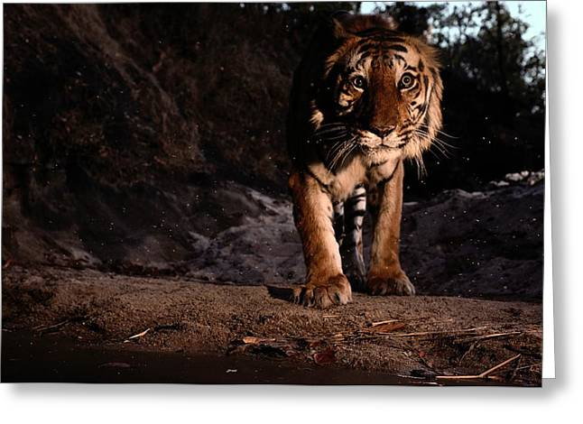 The Tiger Greeting Cards - An Indian Tiger, Panthera Tigris Greeting Card by Michael Nichols