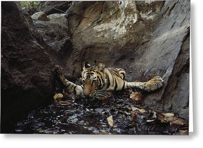 Remote Cameras Greeting Cards - An Indian Tiger Takes A Dip In A Pool Greeting Card by Michael Nichols