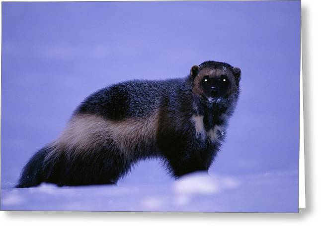 Northwest Territories Greeting Cards - An Informal Portrait Of A Wolverine Greeting Card by Paul Nicklen