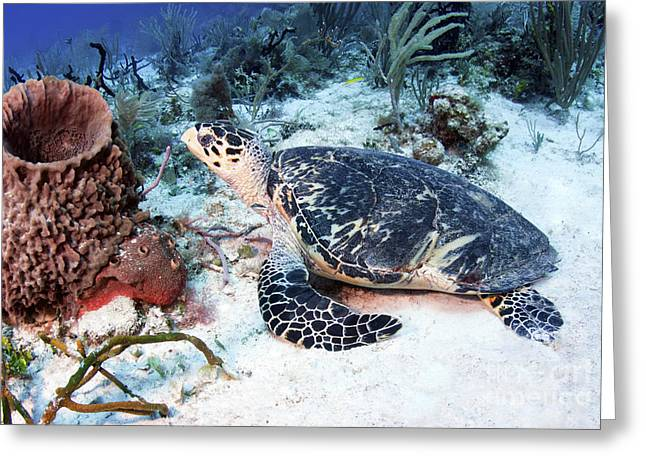 Misfortune Greeting Cards - An Injured Hawksbill Turtle Greeting Card by Karen Doody