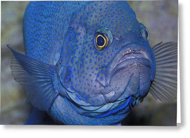 Bully Greeting Cards - An Intimidating Southern Blue Devil Greeting Card by Jason Edwards