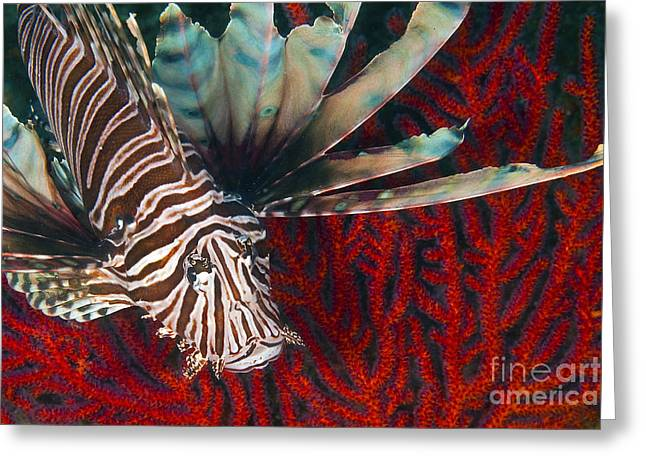 Invasive Species Greeting Cards - An Invasive Indo-pacific Lionfish Greeting Card by Karen Doody