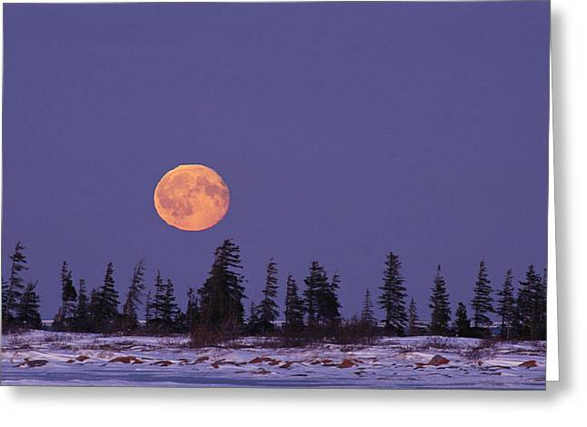 Snow And Night Sky Greeting Cards - An Orange Full Moon Rises Over A Snowy Greeting Card by Norbert Rosing