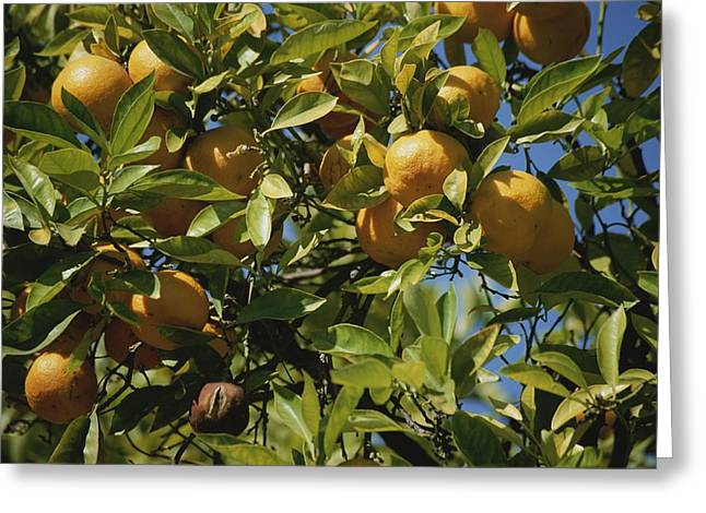 Plant Hollywood Greeting Cards - An Orange Tree Bears Fruit Along Sunset Greeting Card by Stephen St. John